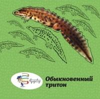 Дробенков С. М. - Обыкновенный тритон