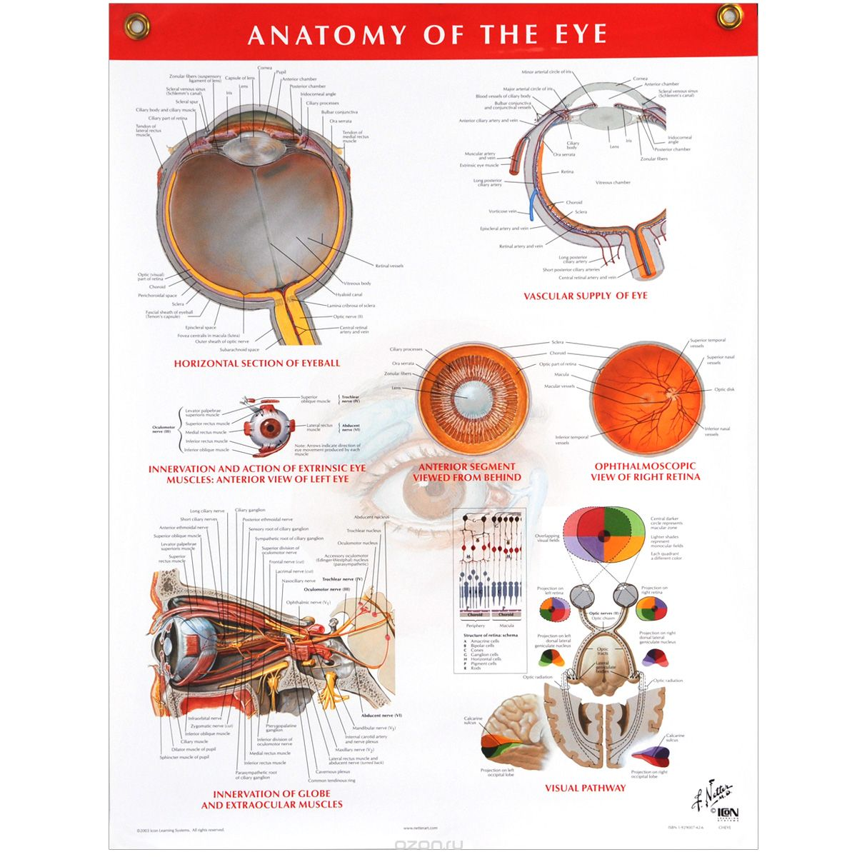 Netter Eye Anatomy Choice Image - human body anatomy